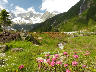 Großansicht - Rosa Alpenrosen inmitten grüner Wiesen auf der Hochalm