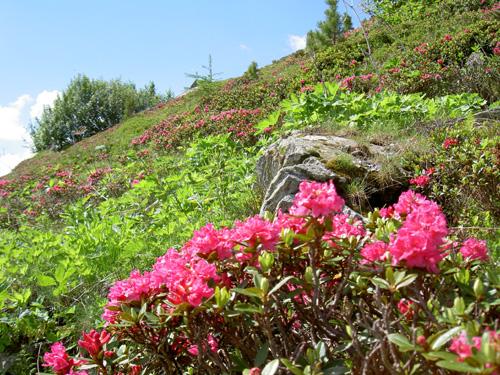 Großansicht - Alpenrosenblüte im Kleinwalsertal