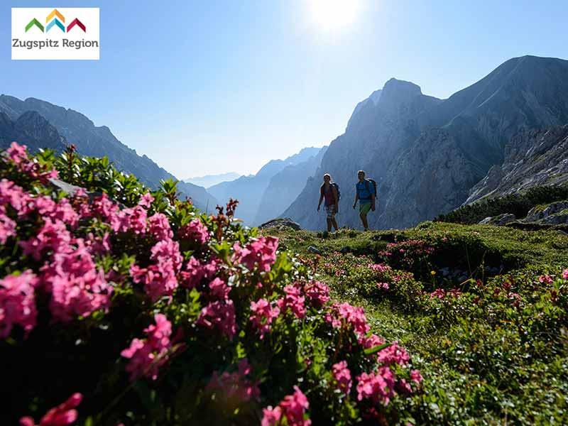 Großansicht - rosa blühende Alpenrosen auf Wiese in den Bergen