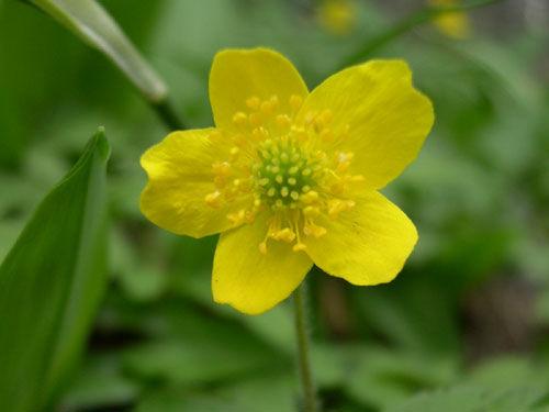 busch windr schen gelb anemone ranunculoides. Black Bedroom Furniture Sets. Home Design Ideas