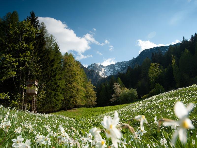 Großansicht - Blühende Narzissen auf einer Wiese umrandet vom Wälder und Berge in Kärnten