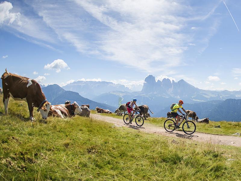 Großansicht - Radfahrer auf Radweg umgeben von Kühe