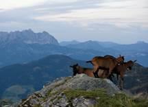Ziegen in den Kitzbüheler Alpen