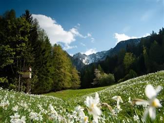 Blühende Narzissen auf einer Wiese umrandet vom Wälder und Berge in Kärnten
