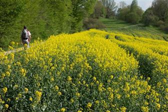 Gelb blühendes Feld entlang des Fränkischen Gebirgsweges