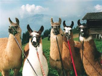 Fünf Lamas für das Lamatrekking in den Vorarlberger Alpen