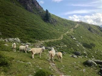 Schafherde auf Almwiese