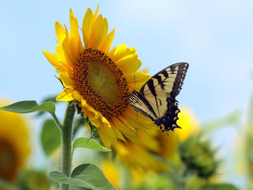 Großansicht - Sonnenblume mit Schmetterling
